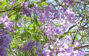 The jacaranda tree